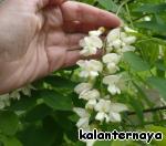 Пирожные из цветков белой акации ингредиенты