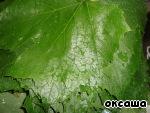 Виноградные листья на зиму ингредиенты