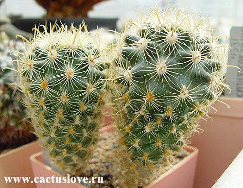 Нередко кактусы можно повстречать в... Мало того, что они могут оказывать...