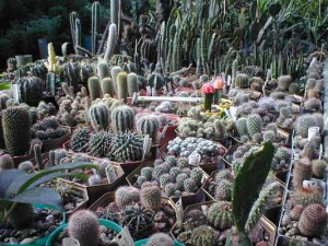 """...колючий кактус """" предлагает вашему вниманию сады из кактусов. огромные..."""
