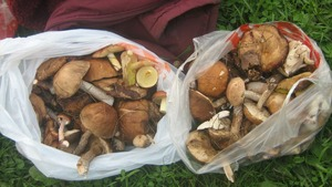 So many mushrooms we have collected + some white beauties!
