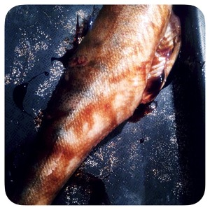 Walleye lubricated inside and out with balsamic sauce, or honey with lemon juice and salt. Reserve yet make the bow.