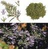 Rosmarinus officinalis, Rosemary, Розмарин