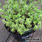 And this is thyme. Of course, parsley.