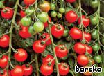 "As informs us all-knowing Wikipedia: ""cherry Tomato was bred by Israeli scientists, in 1973. The purpose was to slow the rapid aging of ordinary tomatoes in a hot climate. They identified a genetic combination that helps to slow down ripening, and method of using the obtained gene to the breeding of tomatoes""."