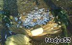 Вот так рыбку - тугунов из невода выбирали. Тугун - рыбка из семейства сиговых, вкуснющая, пахнет свежими огурцами.